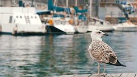 在海和航行的背景的美丽的大白色海鸥 一只大白色海鸥是的海湾和系泊 股票录像
