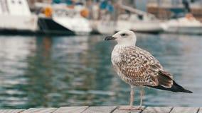 在海和航行的背景的美丽的大白色海鸥 一只大白色海鸥是的海湾和系泊 影视素材