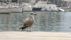 在海和航行的背景的美丽的大白色海鸥 股票视频