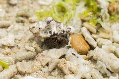 在海壳的寄居蟹在热带海滩 与贝壳宏指令照片的寄居蟹 库存照片