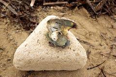 在海壳的海壳 免版税库存图片