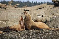 在海岛上的两头海狮 免版税库存照片