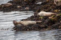 在海岛上的斑海豹在Oban附近在苏格兰 免版税库存图片