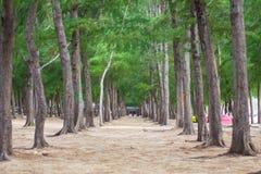 在海岛上的杉树 免版税库存照片