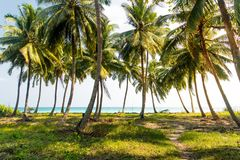 在海岛上的棕榈树丛 沿海草坪在棕榈树下 免版税库存照片