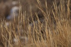 在海岛上的黄色干草在冬天 免版税库存图片