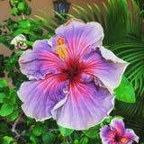 在海岛上的紫色木槿  免版税库存图片