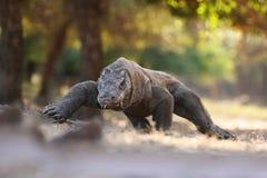 在海岛林卡岛和科莫多,印度尼西亚上的科莫多龙 免版税图库摄影