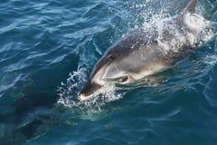 在海岛海湾的海豚  图库摄影
