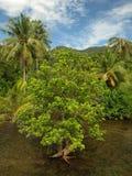 在海岛的美洲红树沼泽 图库摄影