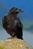 在海岩石海岸黑色鸟掠夺的黑鸟,乌鸦座corax,坐与黄色青苔的灰色石头 在黄色的掠夺 免版税图库摄影