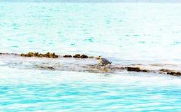 在海岩石的,男性,马尔代夫附近的灰色苍鹭 复制s 免版税库存图片