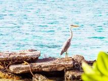 在海岩石的,男性,马尔代夫附近的灰色苍鹭 复制s 库存图片