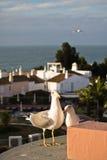 在海岸的两只逗人喜爱的海鸥请求在旅馆大阳台的食物 库存图片