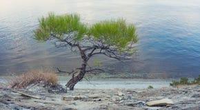 在海岸的孤立杉木  免版税库存图片