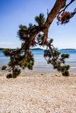 在海岸的杉木分支 免版税库存图片
