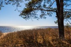 在海岸的杉木 免版税库存图片