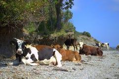 在海岸的松弛母牛 免版税库存图片