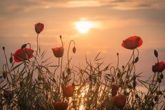 在海岸的红色鸦片在日出 免版税库存照片