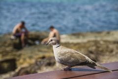 在海岸的鸽子 库存照片