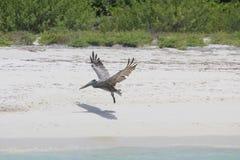 在海岸的鹈鹕在墨西哥,坎昆 免版税库存图片