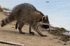 在海岸线标题的浣熊到湖里 免版税图库摄影