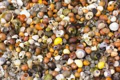 在海岸线,法国的很多小华美的壳 免版税库存图片