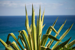 在海岸金丝雀的仙人掌,海岸线 库存照片