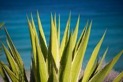 在海岸金丝雀的仙人掌,海岸线 库存图片