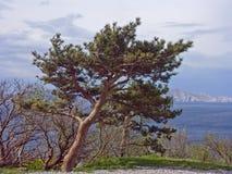 在海岸附近的杉木在达尔马提亚 免版税库存照片