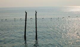 在海岸,供以座位和飞行的鹈鹕 免版税库存图片