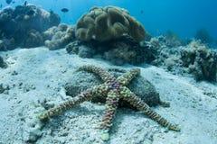 在海底的有疣的海星 免版税库存图片