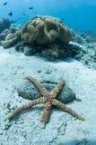 在海底的泡影海星 库存图片