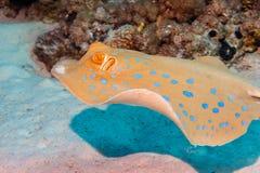 在海底的黄貂鱼 红海 库存图片