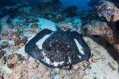 在海底的黑的Blotched黄貂鱼 库存照片