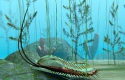 在海底的Trilobite 免版税图库摄影
