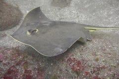 在海底部的红色黄貂鱼  免版税库存照片