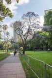 在海德公园的兰花楹属植物树 图库摄影