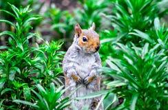 在海德公园的灰鼠在伦敦 免版税库存照片