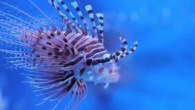 在海或水族馆的蓑鱼 影视素材