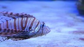 在海或水族馆的蓑鱼 股票视频