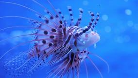 在海或水族馆的蓑鱼 股票录像