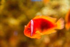 在海水坦克的小丑鱼 免版税库存照片