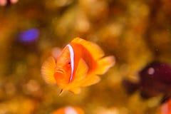 在海水坦克的小丑鱼 免版税库存图片