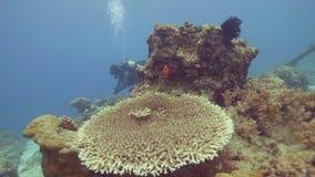 在海水水中视图的惊人的珊瑚礁和鱼游泳 热带的轻潜水员游泳在珊瑚礁附近和 股票视频