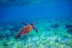 在海水的海草龟 海洋绿浪乌龟特写镜头 热带珊瑚礁野生生物  库存照片