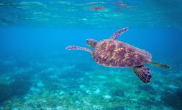 在海水的海草龟 海洋绿浪乌龟特写镜头 热带珊瑚礁野生生物  库存图片