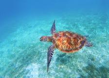 在海水的海龟特写镜头 橄榄绿海龟特写镜头 热带珊瑚礁野生生物  库存图片