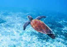 在海水的海龟 海洋绿浪乌龟特写镜头 热带珊瑚礁野生生物  免版税库存图片