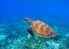 在海水的海龟 海草龟水下的照片 在珊瑚礁的海龟 免版税图库摄影